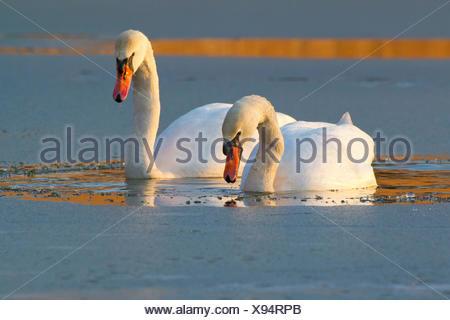 Mute swan (Cygnus olor), sur un lac gelé dans la soirée sur l'alimentation, de l'Autriche, NSG Rheindelta, Fussach