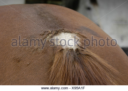 Cheval domestique (Equus caballus przewalskii. f), champignon cutanée Banque D'Images