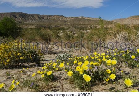Fleurs sauvages, Anza-Borrego Desert State Park en Californie. Banque D'Images