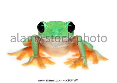 Gliding tree frog (Agalychnis spurrelli) captive, se produit en Colombie, Costa Rica, Équateur, et le Panama. Banque D'Images