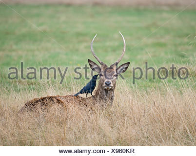 Red Deer (Cervus elaphus) stag jeunes avec les choucas à la recherche de tiques Richmond Park Londres Banque D'Images