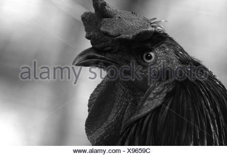 Portrait Of Rooster Banque D'Images