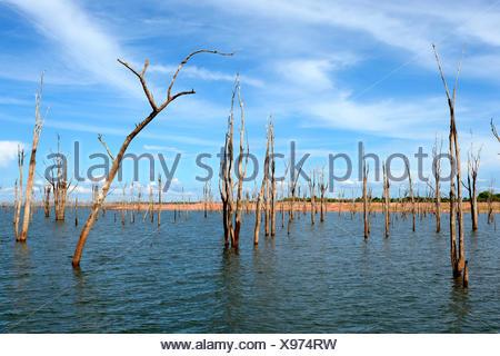 Arbres Mopane morts (Colophospermum mopane) Partiellement immergé dans le lac Kariba, Matusadona National Park, Zimbabwe Banque D'Images