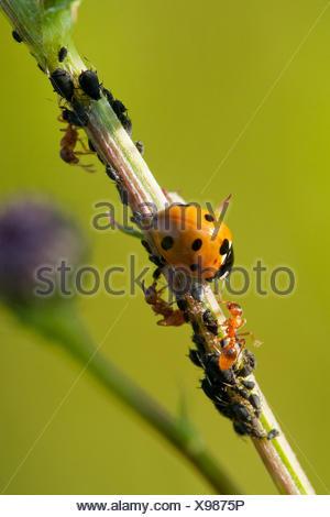 7-spot ladybird, ladybird, sevenspot 7-spot coccinelle (Coccinella septempunctata), 7-spot ladybird et prairie jaune avec des fourmis poux, Allemagne, Rhénanie-Palatinat Banque D'Images