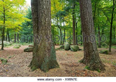 Tombe mégalithique en forêt de hêtre, dammer berge, district de Vechta, Niedersachsen, Allemagne Banque D'Images