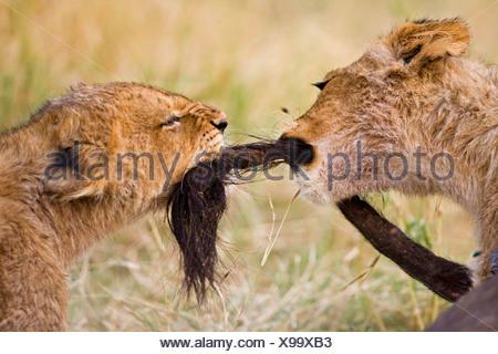 L'Afrique, Botswana, deux oursons lion (Panthera leo) jouant
