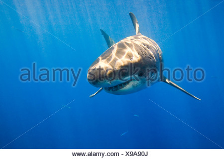 Grand requin blanc (Carcharodon carcharias) Banque D'Images