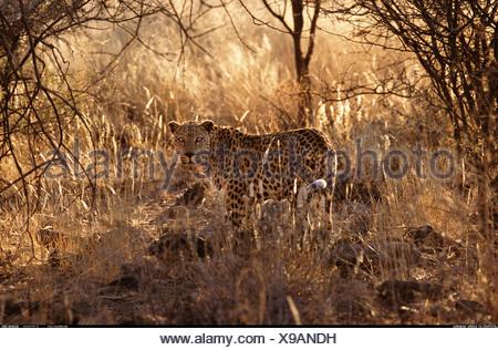 Léopard de Namibie Banque D'Images