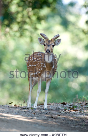 Spotted Deer ou Chital Axis axis à woodland Banque D'Images