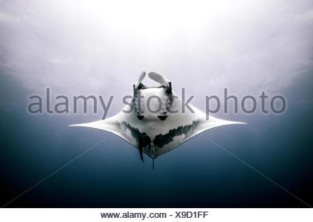 Raie Manta géante, vue sous-marine, Roca Partida, Mexique Banque D'Images