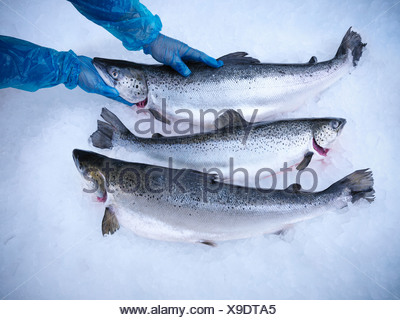Le poisson frais sur lit de glace Banque D'Images