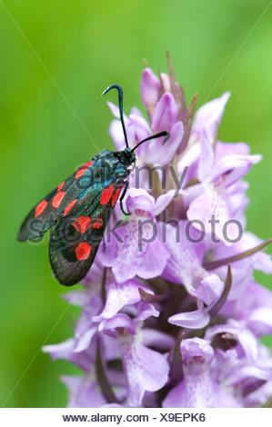 Six-Spot Burnet Moth, Zygaena filipendulae, la baie de Sandwich, Kent, UK