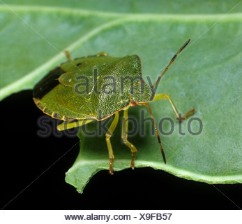 Green Shield bug (Palomena prasina) adulte sur une feuille Banque D'Images