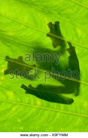 Silhouette de Wallace's Flying Frog sur feuille de palmier. Danum Valley, Sabah, Bornéo. Banque D'Images