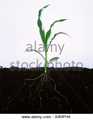 Les jeunes ou de maïs le maïs plante entière avec feuilles et racines Banque D'Images