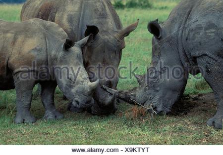 Le rhinocéros blanc (Ceratotherium simum), groupe familial avec veau, espèce en voie de disparition, hluhluwe-umfolozi park, Zululand, le Kwazulu-Natal Banque D'Images