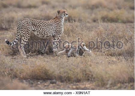 Le Guépard (Acinonyx jubatus), femelle guépard avec oursons, Serengeti, Tanzanie Banque D'Images