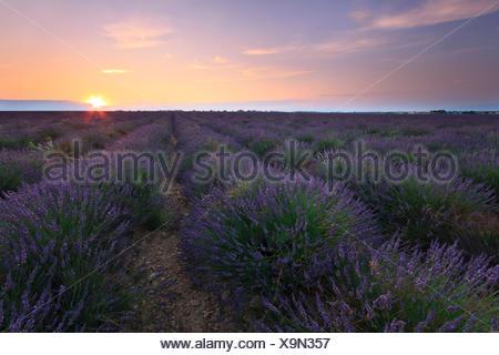 Lever de soleil sur champ de lavande - Valensole en France Banque D'Images
