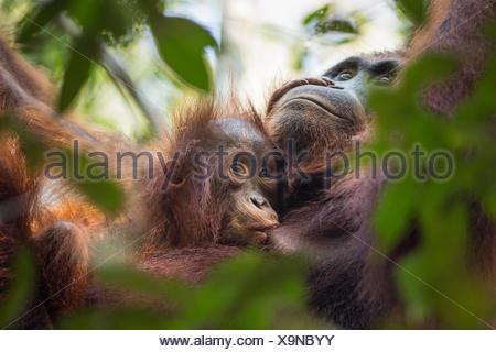 Une femme sauvage, orang-outan, Pongo pygmaeus, avec ses jeunes à Tanjung Puting Parc National. Banque D'Images