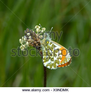 Orange mâle-tip Butterfly resting on capitule. Banque D'Images
