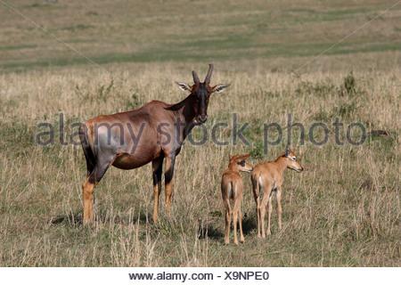 Topi, tsessebi, korrigum, tsessebe (Damaliscus lunatus jimela), avec des petits, Kenya, Masai Mara National Park Banque D'Images