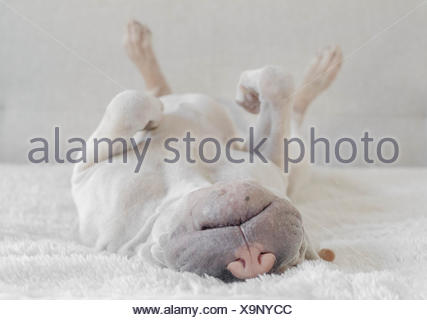 Chiot Shar Pei sleeping Banque D'Images