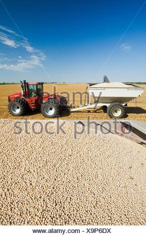 Le pois jaune en arrière d'un camion agricole pendant la récolte de chariot tracteur grain en arrière-plan, près de Winnipeg Manitoba Canada Banque D'Images