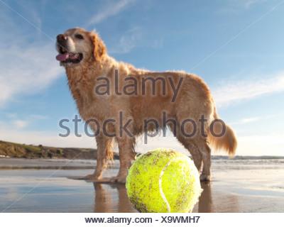 Bénéficiant d'chien balle de tennis et plage à Gerrans Bay, Cornwall, United Kingdom Banque D'Images