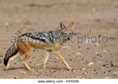 Le chacal à dos noir (Canis mesomelas), marchant dans le semi-désert, Afrique du Sud, Kgalagadi Transfrontier National Park Banque D'Images