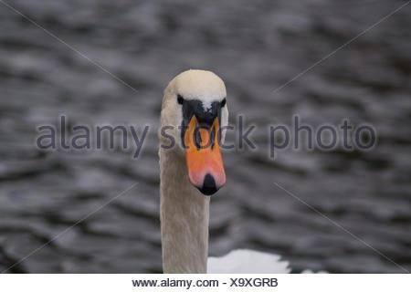 Portrait de cygne sur le lac Banque D'Images