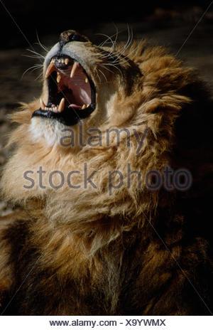 L'Afrique de l'Homme Lion, Panthera leo, rugissant Banque D'Images
