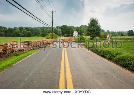 Agriculteur conduisant les vaches laitières de l'autre côté de la route, près de Long vert; le Maryland, États-Unis d'Amérique Banque D'Images