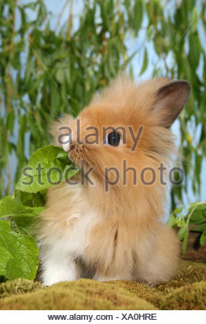 Jeune lapin à tête de lion