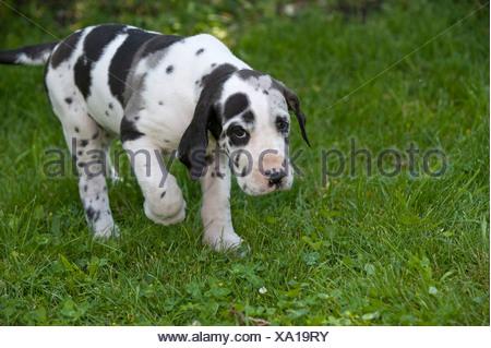 Arlequin Dogue Allemand chiot (6 semaines) de marcher sur une pelouse Banque D'Images