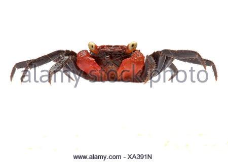 Crabe Vampire sur fond blanc originaire d'Asie du Sud-Est Banque D'Images