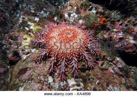 Couronne d'Étoile de mer Acanthaster, ellisii, le Costa Rica, l'île Cocos Banque D'Images