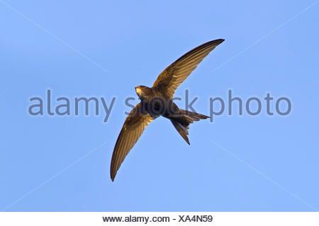 (Apus apus swift eurasien), en vol, d'en bas, l'Allemagne, Bade-Wurtemberg Banque D'Images