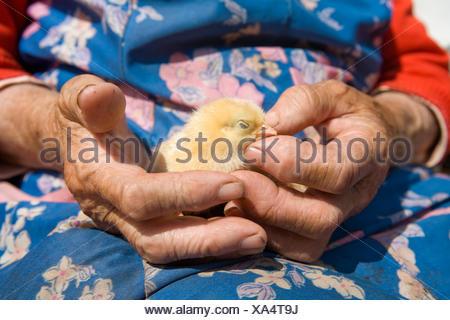 Vieux Paysan woman holding poulet dans ses mains ridées Banque D'Images