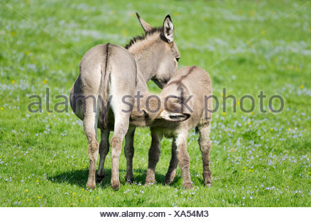 Les ânes domestiques (Equus asinus asinus), mare suckling poulain, Allemagne