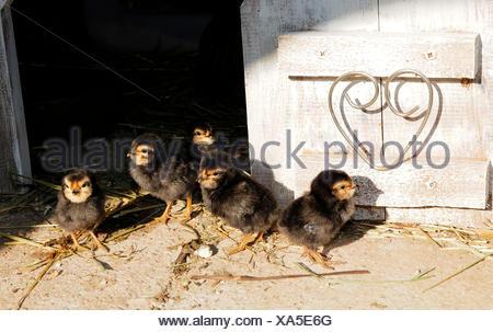 Groupe d'chickss de barbu d'anvers en face de stable en shabby chic, mur en bois blanc avec cœur dans la porte Banque D'Images