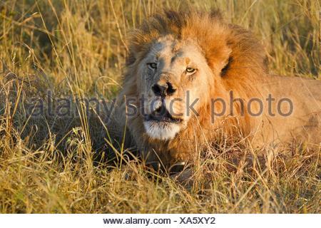 L'African lion (Panthera leo), mâle appelant, le Botswana, l'Afrique. Banque D'Images