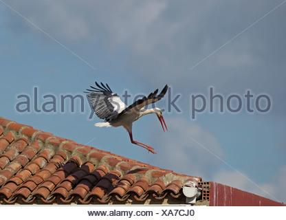 Cigogne blanche Ciconia ciconia l'atterrissage sur le toit, d'Alfaro Espagne Banque D'Images
