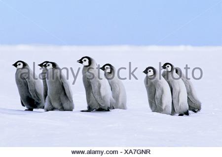 Poussins de manchot empereur (Aptenodytes forsteri), colonie Riiser Larsen, 72° S., mer de Weddell, l'Antarctique. Banque D'Images