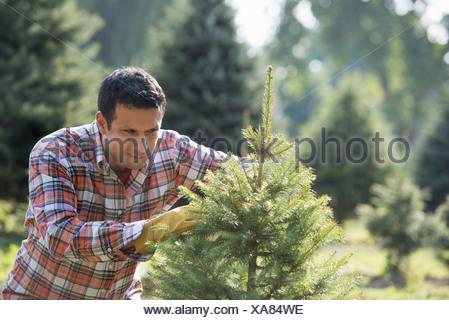Un homme issu de l'élagage d'un arbre de Noël. Banque D'Images