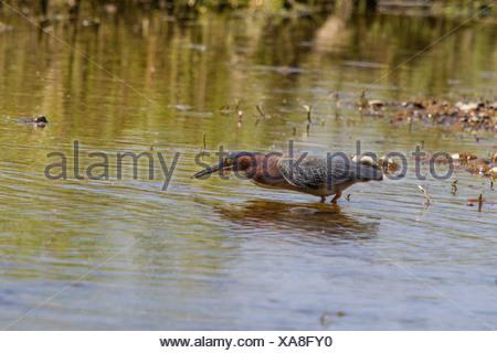 Le héron vert (Butorides virescens), debout dans l'eau peu profonde avec un petit poisson dans le bec, USA, Arizona, Verde River Phoenix, Banque D'Images