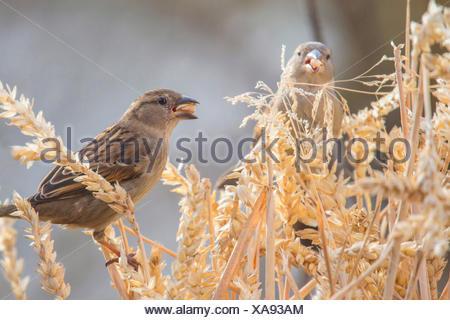 Moineau domestique (Passer domesticus), se nourrit d'un épi de blé, de l'Allemagne, de Bavière, Niederbayern, Basse-Bavière Banque D'Images