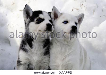 6 semaine les chiots de race Husky de Sibérie dans la neige à Bright Angel Park, Cowichan, C.-B.). Ambre Lassooij releae, modèle) Banque D'Images