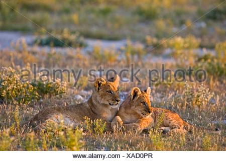 L'Afrique, Botswana, Lion cubs (Panthera leo)