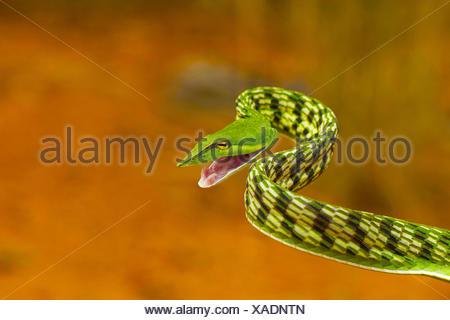 Serpent de vigne verte, Ahaetulla nasuta, légère venimeux. Pondicherry, Tamil Nadu, Inde