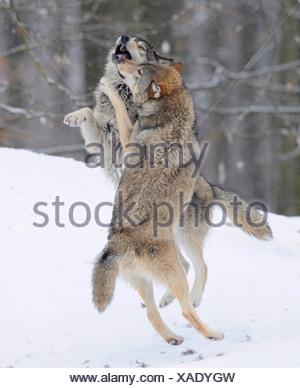 La lutte contre les loups à propos de hiérarchie, Loup du Mackenzie, toundra de l'Alaska Wolf ou canadien Timber Wolf (Canis lupus occidentalis) dans le Banque D'Images